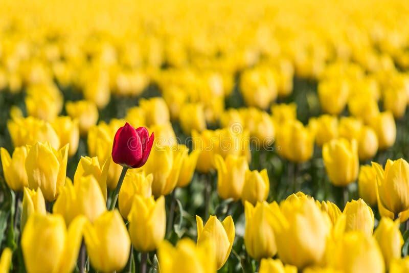 En röd tulpan står i ett fält av gula tulpan royaltyfri fotografi