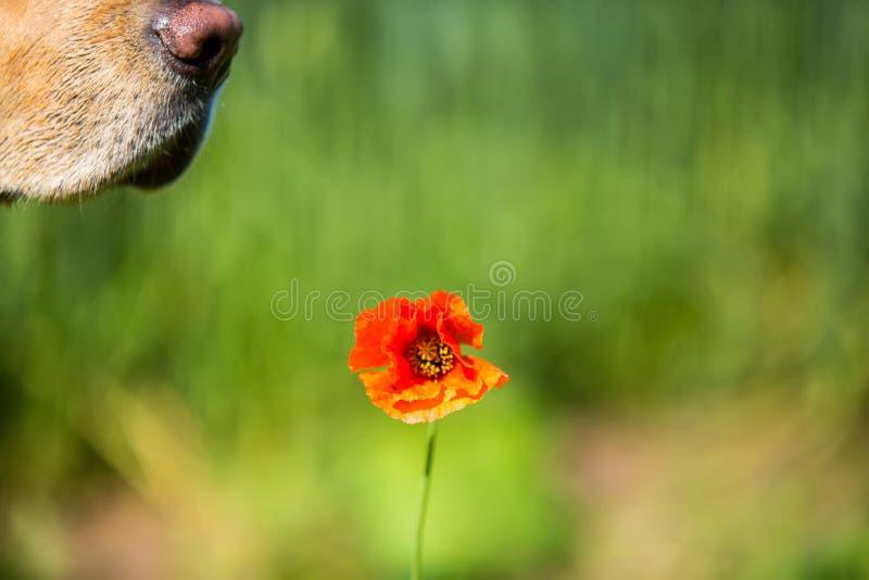 En röd vallmo i ett fält av skördar, med en hundkapplöpningnäsa arkivbild