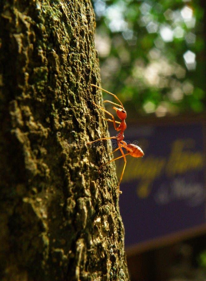 En röda Ant Climbing på ett stort träd i eftermiddagsolljuset arkivbild
