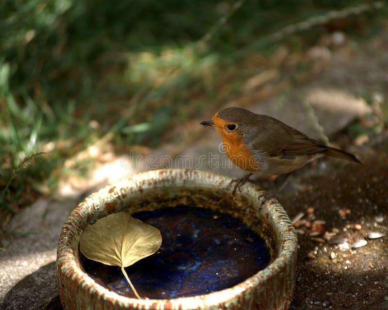 En rödhake dricker vatten fotografering för bildbyråer