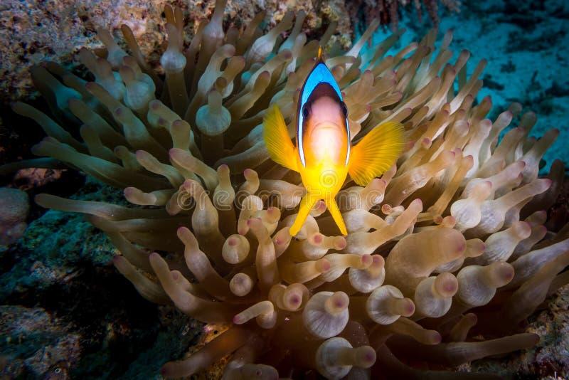 En R?da havetanemonfisk i Egypten royaltyfria foton