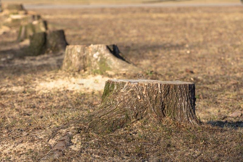 En rad av stubbar, sågade träd i parkerar i vår arkivbild