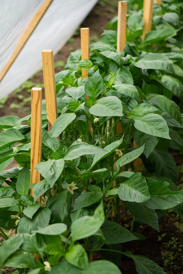 En rad gröna buskar av sötpeppar i ett växthusglas royaltyfri fotografi