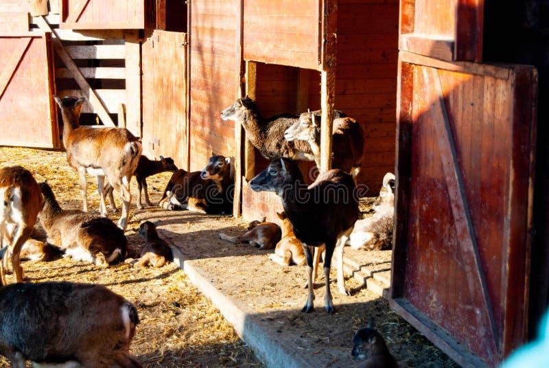 En ranch med getter fotografering för bildbyråer