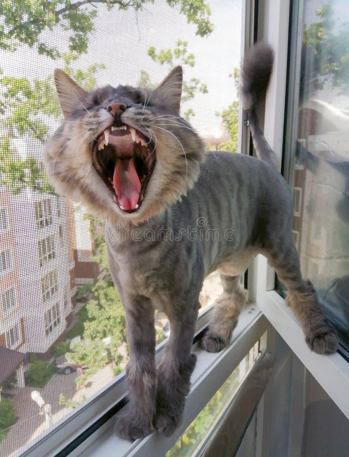 En randig Siberian katt klippte eller rakade f?r sommaren ?r skrikig eller g?spa, medan st? i ett f?nster arkivbild