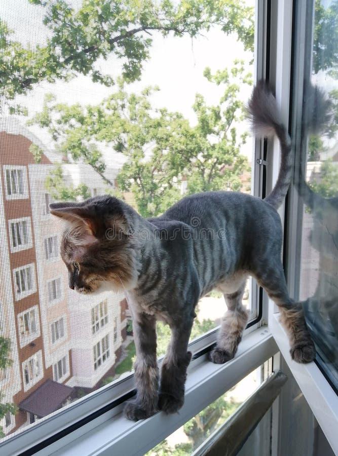 En randig Siberian katt klippte och rakade för sommaren ser ut på gatan, medan stå i ett fönster arkivfoton