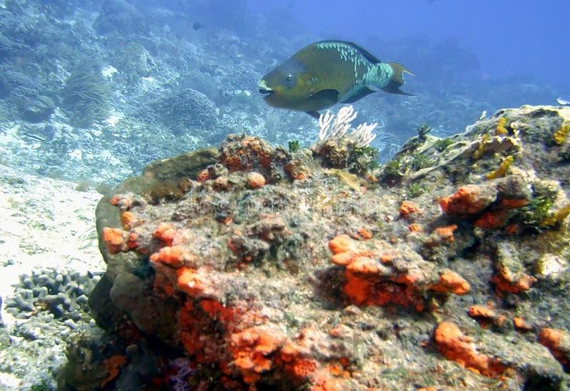 En ` 4 - 0 `-regnbågeParrotfish kryssar omkring Coral Reef arkivfoton