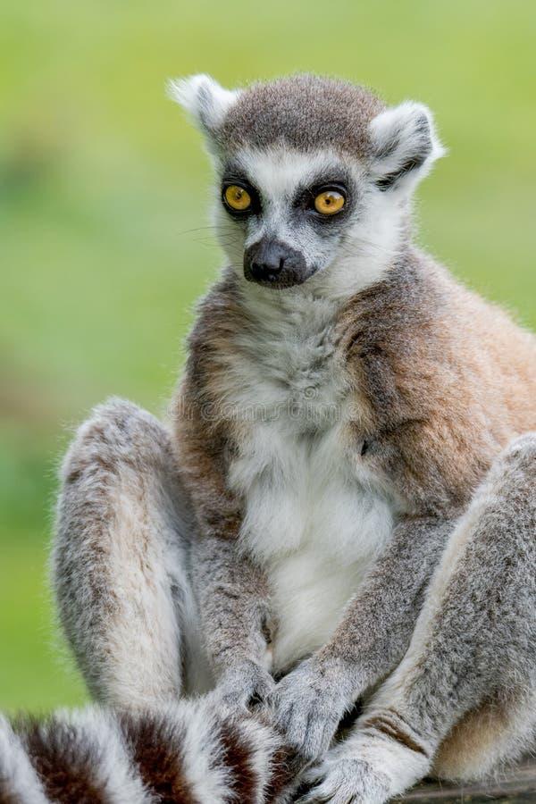 En Ring Tailed Lemur som rymmer hans svans royaltyfria bilder