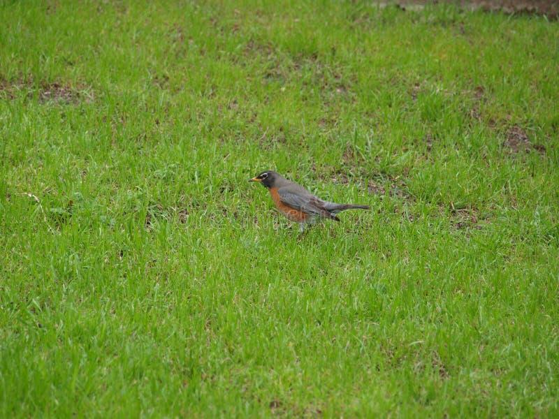 En Robin Red Breast Bird Looks för mat royaltyfri fotografi