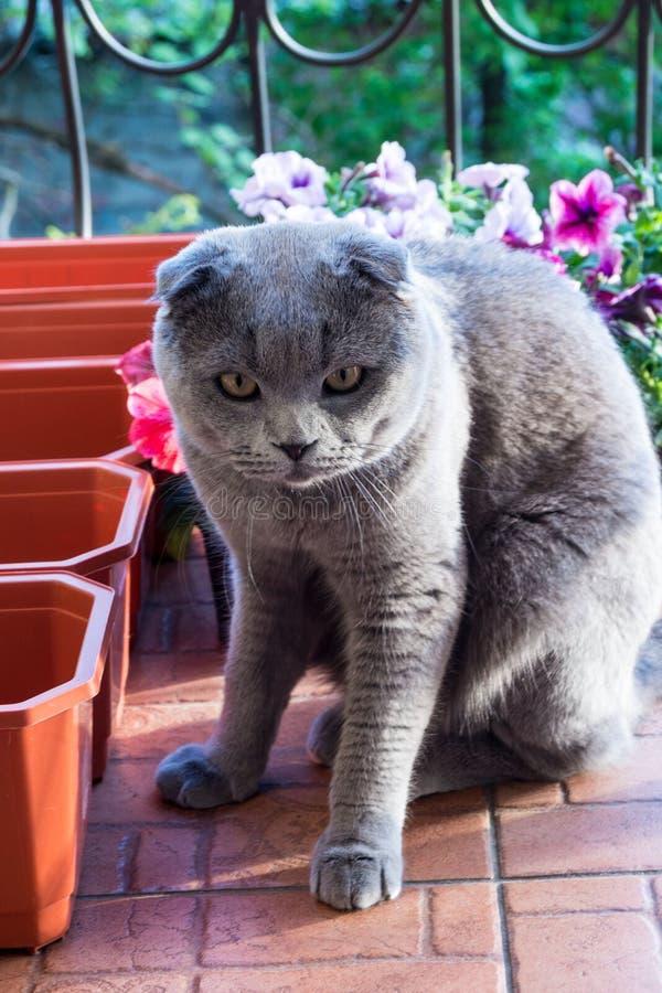 En rolig katt, skotsk veckavel, sitter på en balkong nära blommaaskar och låter inte lyxfnasket plantera petunior royaltyfria foton