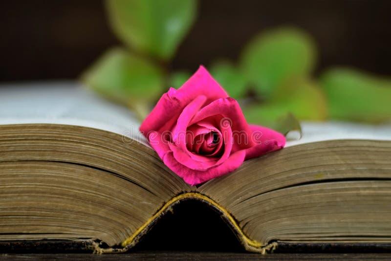 En ros på den öppnade gamla boken royaltyfri foto