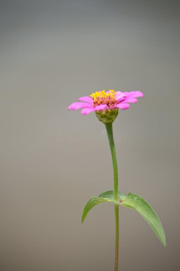 En rosa blomma royaltyfria bilder