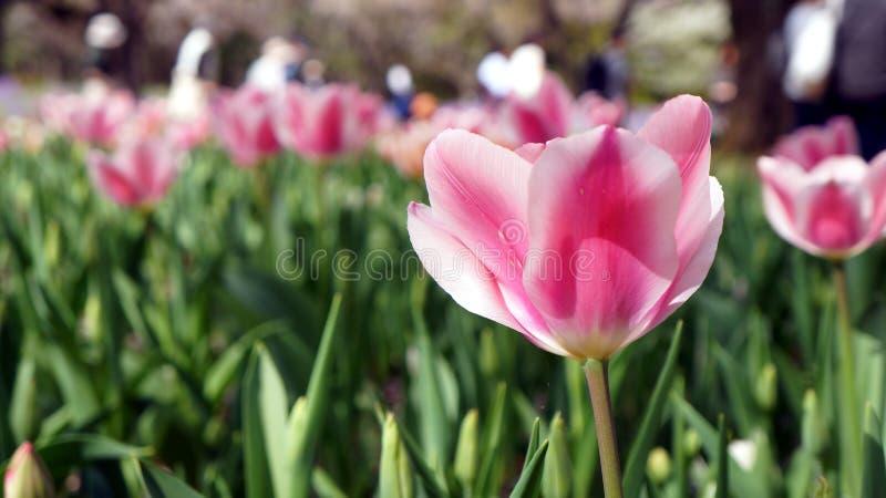 En rosa blommad tulpan för closeup med fältet av den rosa tulpan i bakgrunden royaltyfria bilder