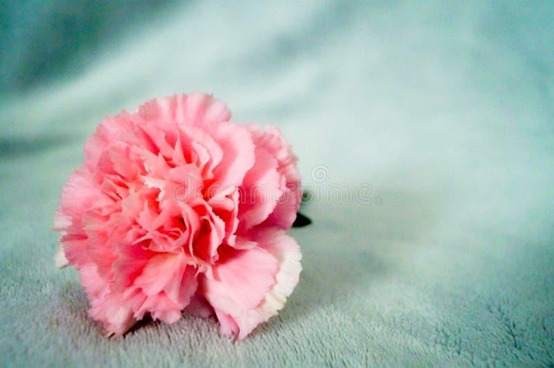En rosa nejlika på den mjuk filten som så är härlig och arkivfoton