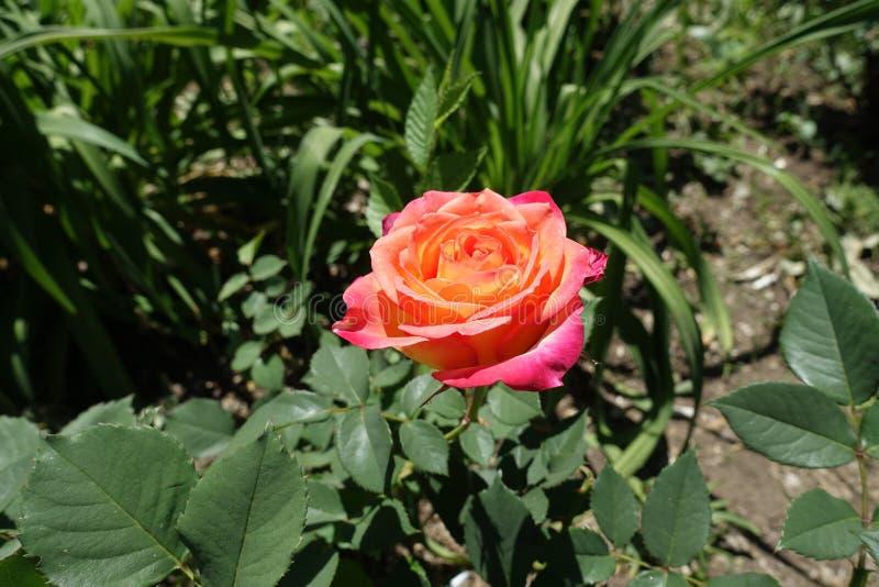 En rosa och gul ros arkivfoton