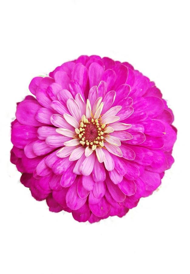 En rosa och lila isolerad blomma på vit bakgrund arkivfoton