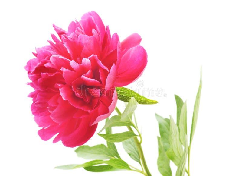 En rosa pion royaltyfri foto