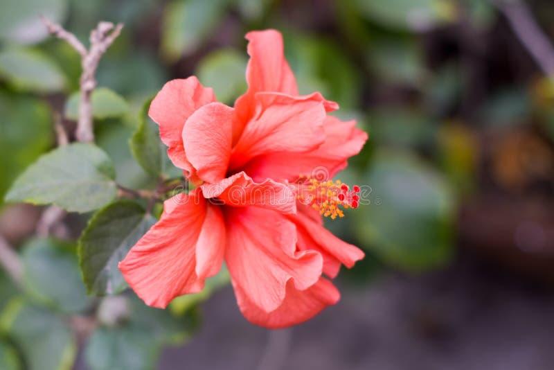 En rosa-sinensis för Chaba blommahibiskus kinesisk ros, röd färg som blommar under morgonsolljus i tropisk trädgård i gräsplan arkivfoto