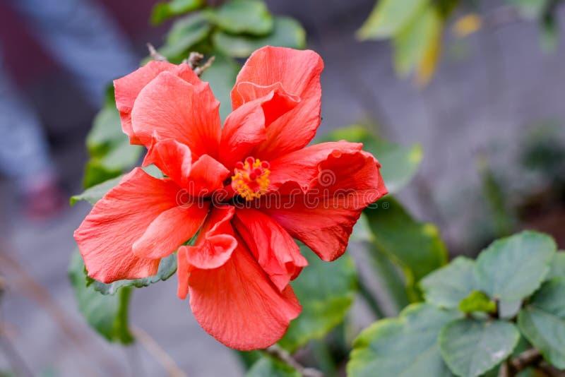 En rosa-sinensis för Chaba blommahibiskus kinesisk ros, röd färg som blommar under morgonsolljus i tropisk trädgård i gräsplan arkivfoton