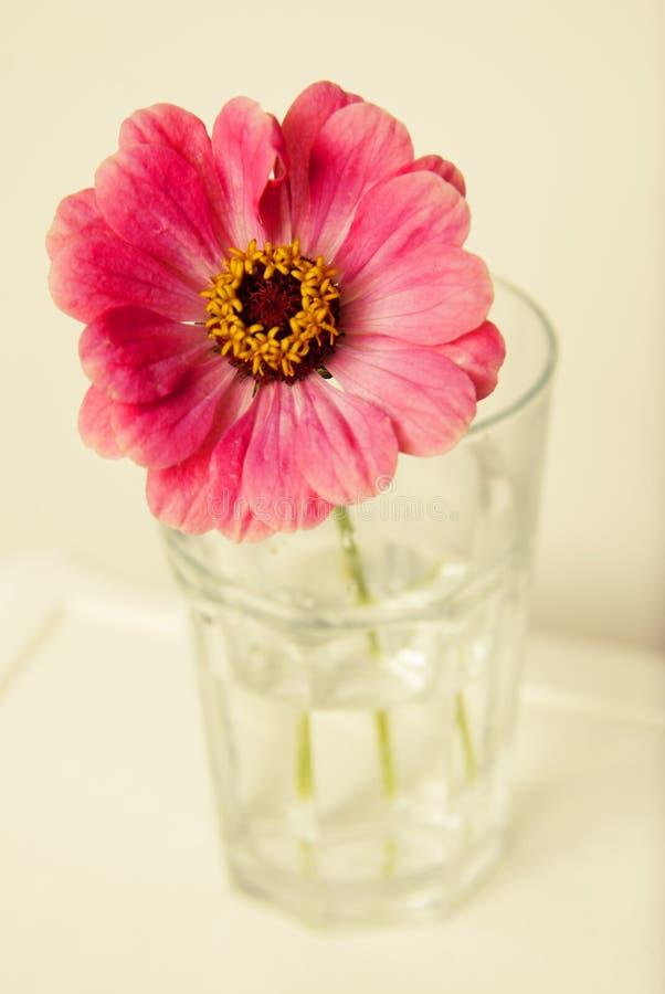 En rosa zinniablomma i en isolerad vas inomhus kopiera avstånd royaltyfria foton