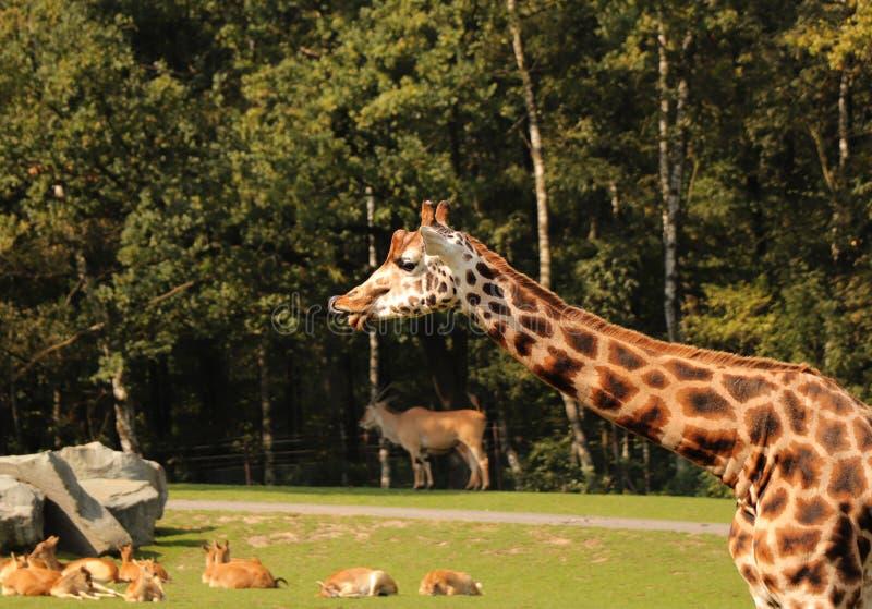 En Rothschilds giraff som slickar din näsa och framsida Hon har brun hud med ljusa fläckar Också har hon små horn arkivfoto