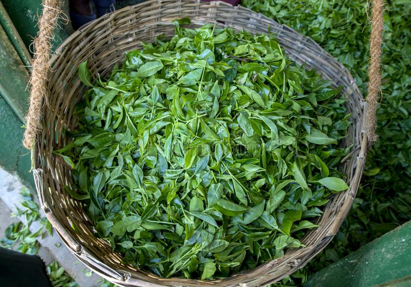 En rottingkorg fyllde med en skörd av nya gröna teblad på den Nuwara Eliya regionen av Sri Lanka royaltyfri bild