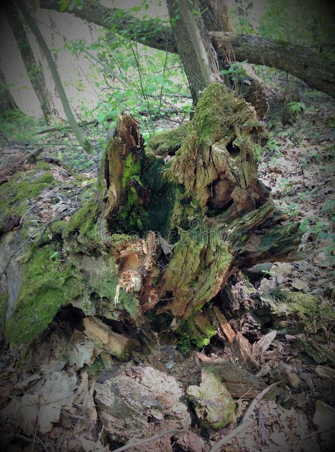 En rutten trädstubbe blir ett monster, ett elakt troll, en fiska med drag i, en piratkopiera, om lapparna av ljus och skugga skap royaltyfria bilder