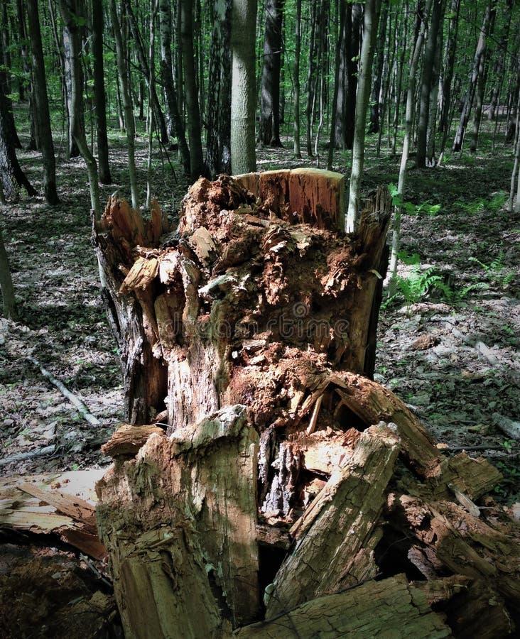 En rutten trädstubbe blir ett monster, ett elakt troll, en fiska med drag i, en piratkopiera, om lapparna av ljus och skugga skap arkivbilder
