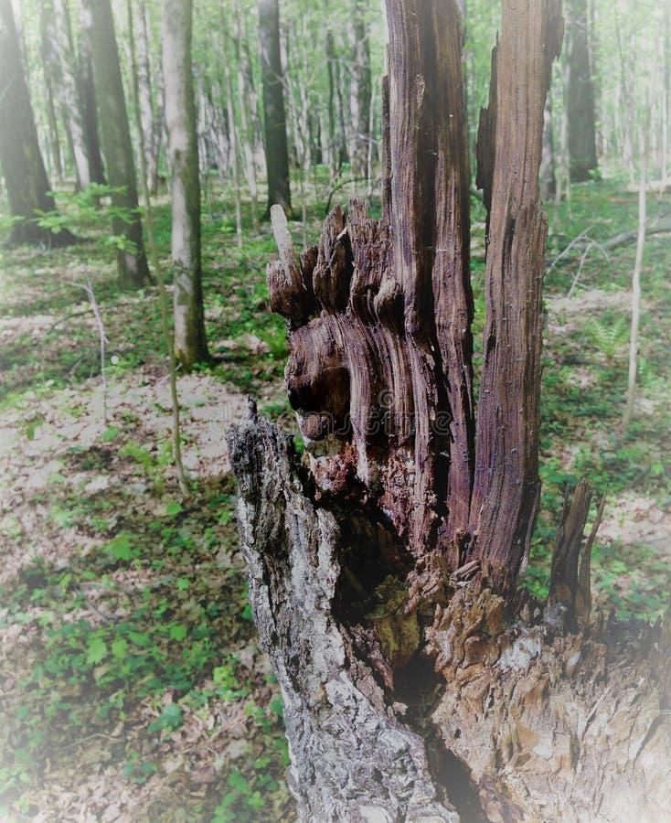 En rutten trädstubbe blir ett monster, ett elakt troll, en fiska med drag i, en piratkopiera, om lapparna av ljus och skugga skap royaltyfri foto