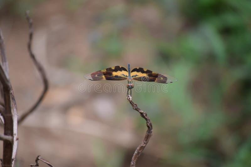 En sällan sedd fjäril royaltyfri foto