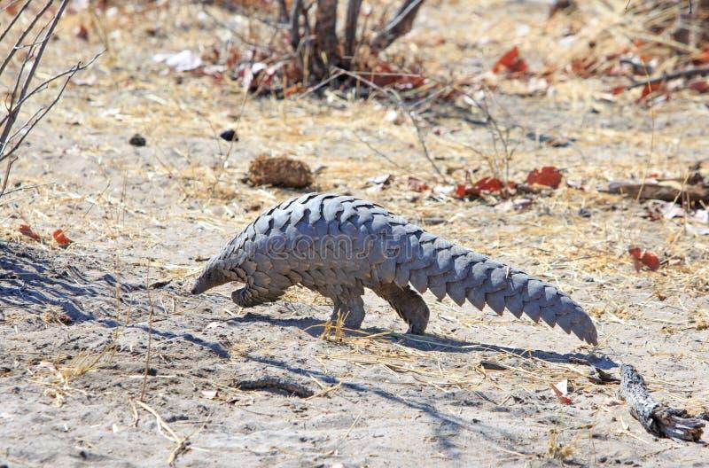 En sällsynt afrikansk Pangolin siktade i den Hwange nationalparken arkivfoton
