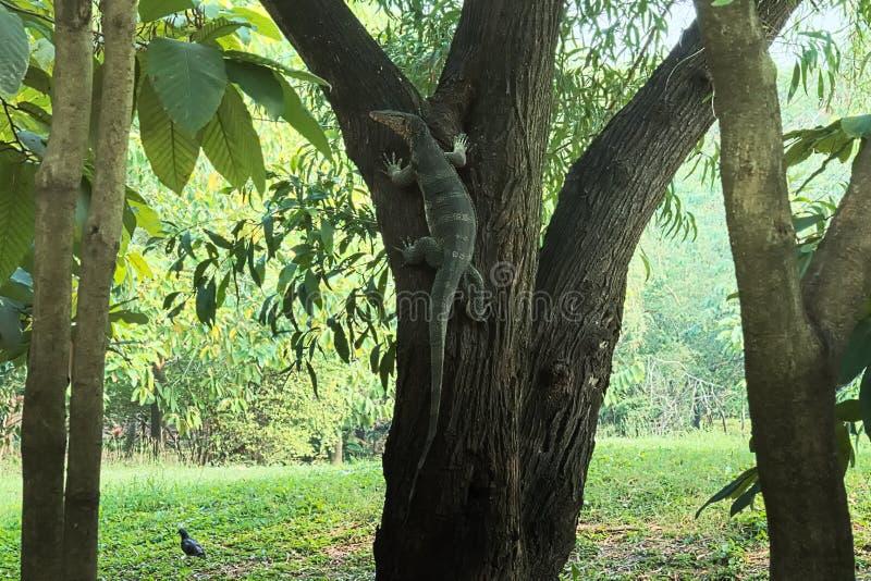 En sällsynt och ovanlig sikt av en bildskärmödla som klättrar ett träd i en frodig thailändsk trädgård, parkerar royaltyfria bilder