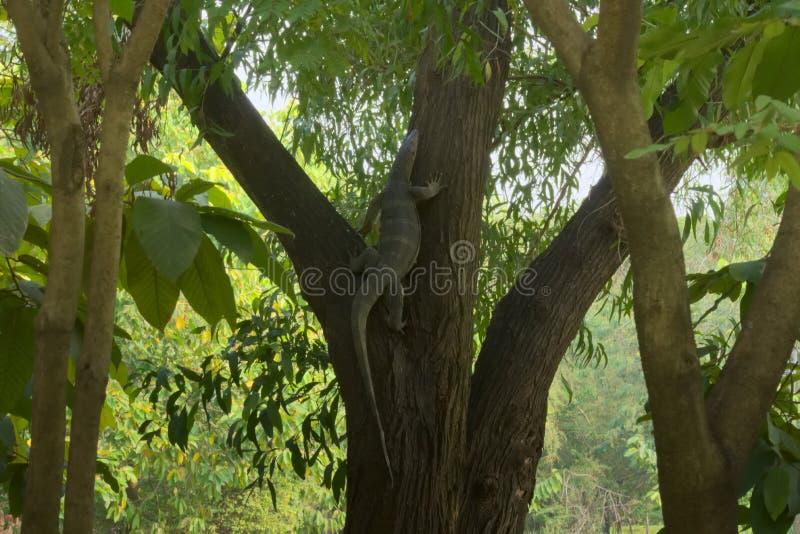 En sällsynt och ovanlig sikt av en bildskärmödla som klättrar ett träd i en frodig thailändsk trädgård, parkerar arkivbilder