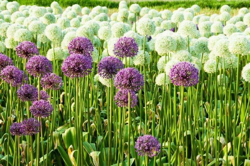 Sätta in av Alliumblommor arkivfoto