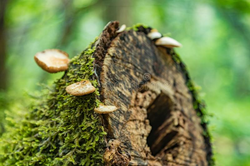 En sågad gammal trädstam som är bevuxen med laven och champinjoner Relictskog på lutningarna av den äldsta bergskedjan av naturli arkivfoto