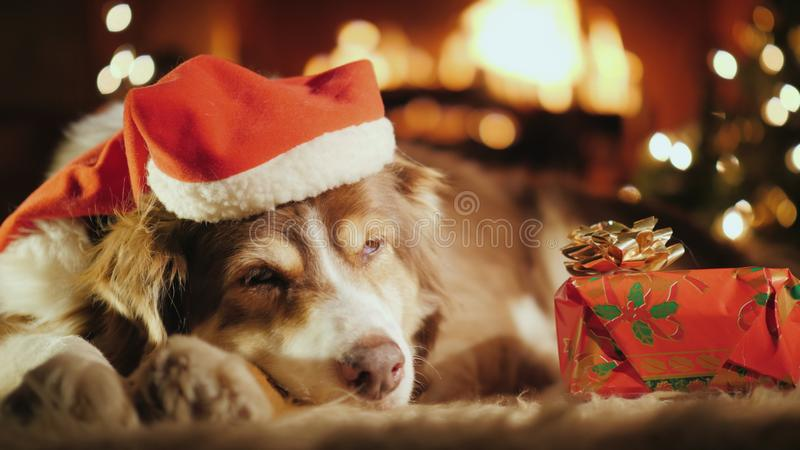 En söt hund sover nära hans julklapp, i bakgrunden är en julgran, och en brand bränner i arkivbild