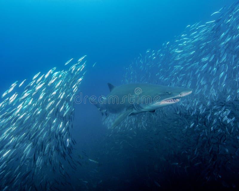 En sand Tiger Shark Splits Through en skola av små fiskar i ut öarna av North Carolina royaltyfri foto