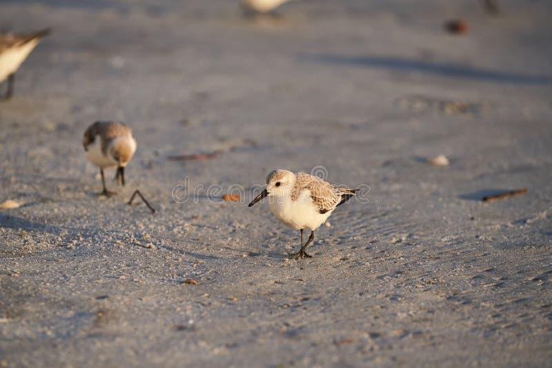 En sanderling som tidigt på morgonen går stranden royaltyfri foto