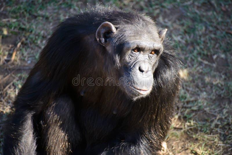 En schimpans i naturvården arkivfoton