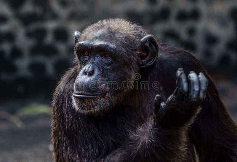 en schimpanshandling royaltyfri fotografi