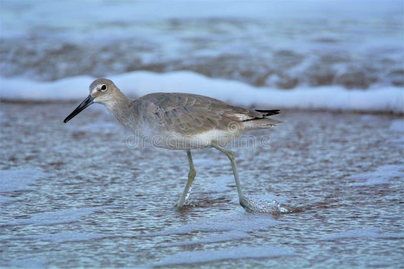 En seabird gör det vägen till och med den tidvattens- pölen som söker efter mat royaltyfria bilder