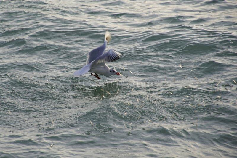 En seagull fångade fisken i vågorna av havet Fåglar på jakten En flock av skrämda fiskhopp ut ur vattnet royaltyfri bild