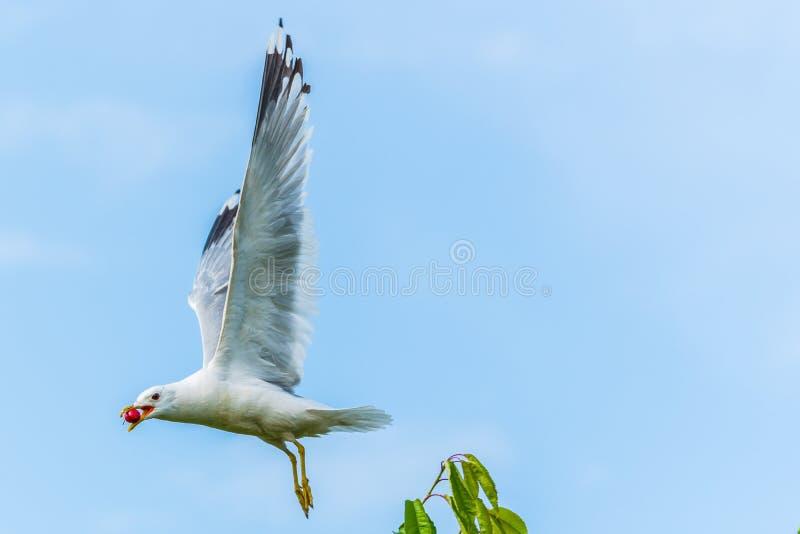 En seagull får en körsbär i flykten från ett körsbärsrött träd royaltyfria foton