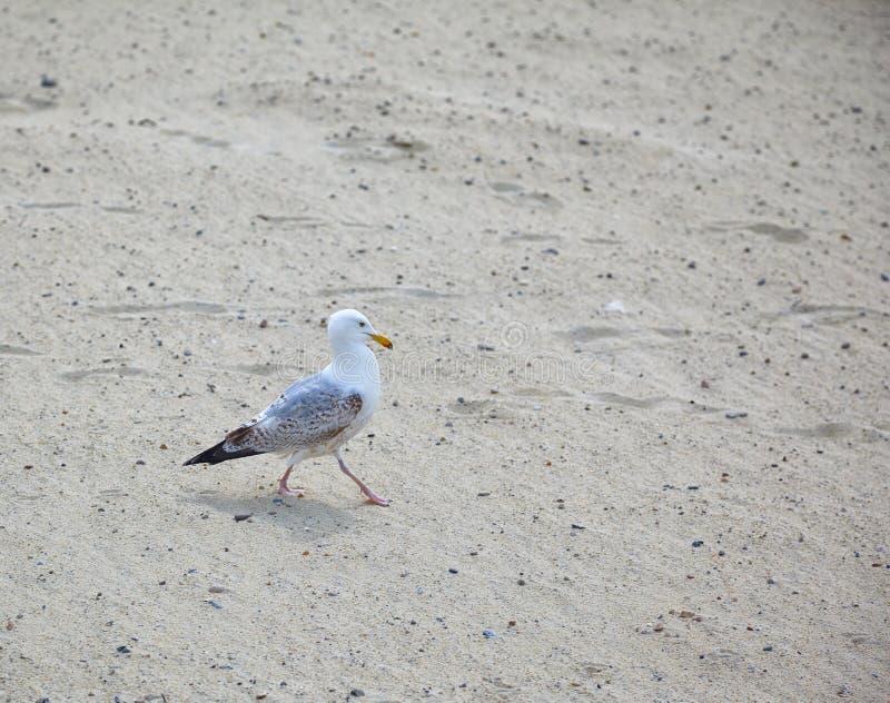 En seagull går på sanden arkivbilder