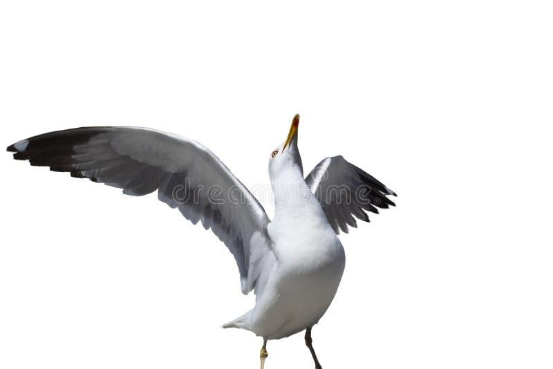 En seagull med vit bakgrund royaltyfri bild