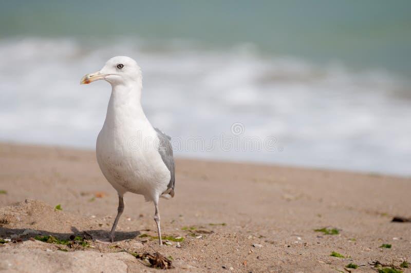 En seagull på stranden arkivbilder