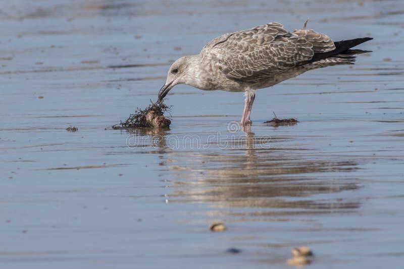 En seagull på stranden royaltyfri fotografi