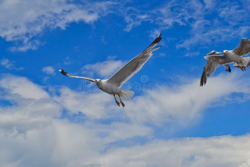 En seagull ser i kameran royaltyfri bild
