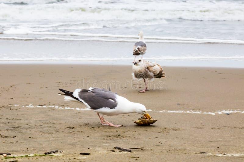 En Seagull som äter en krabba arkivbilder