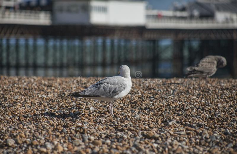 En seagull som bort ser - den Brighton stranden och pir fotografering för bildbyråer